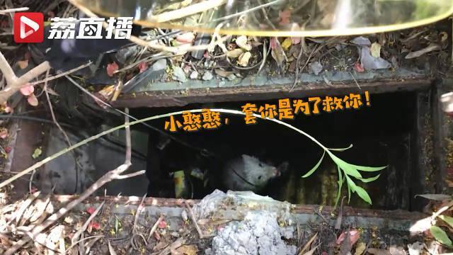 无锡白狐被困下水道消防结绳救援