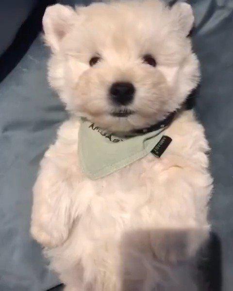 毛绒小玩具白色梗犬,特别受欢迎的家庭伴侣犬,聪明会卖萌……