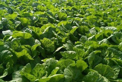 大白菜结球期,用这个配方喷2遍,结球紧实还增产,最高增产50%