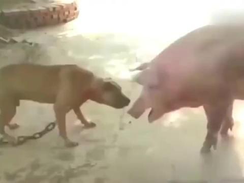 猪真的急眼了!天天被比特犬挑衅,这次终于硬气了一回!