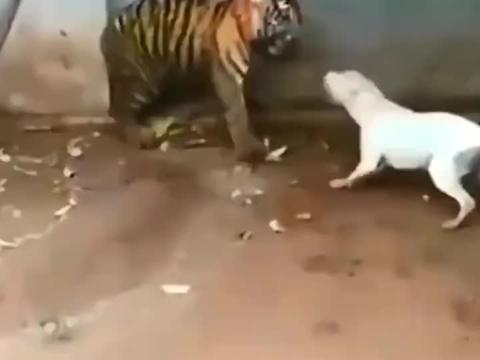 比特犬挑衅老虎后被锁喉杀,老虎不发威,你当我是病猫啊!