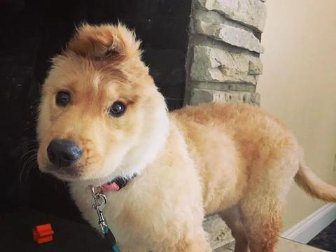 小金毛出生时只有一只耳朵,长大后却变身狗狗独角兽,超可爱