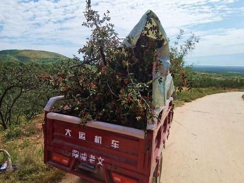 山西农民摘花椒,城乡两头跑,看他生活是啥样