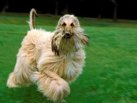 风靡全世界的犬中帝王——阿富汗猎犬