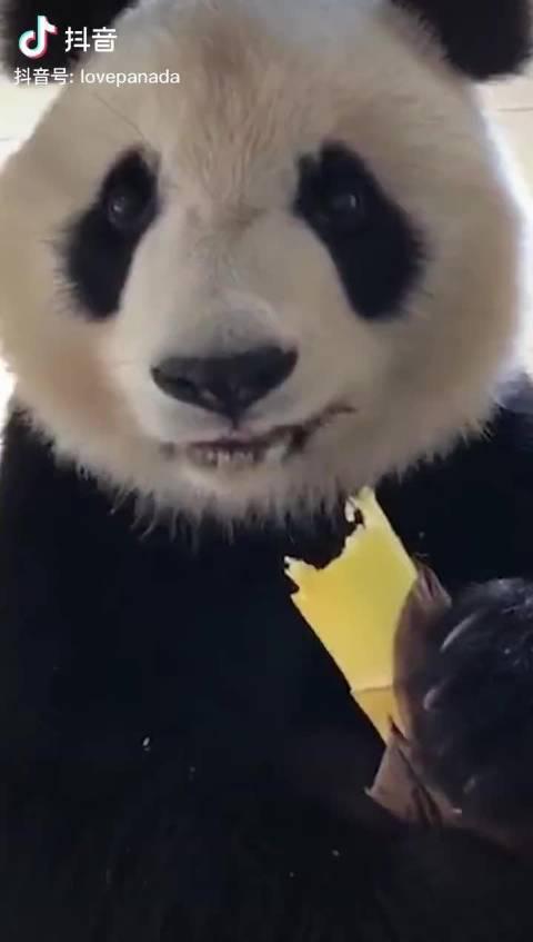 熊猫吃竹笋也要剥皮,精致起来没谁了
