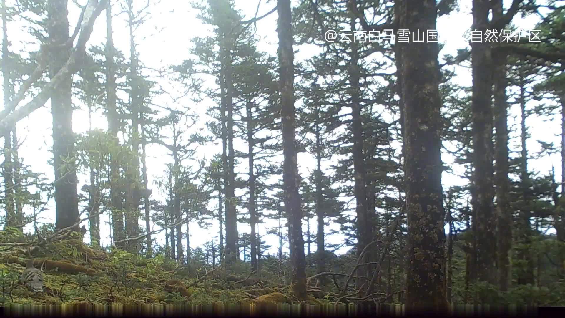 惊喜!白马雪山保护区内拍到四川雉鹑清晰影像