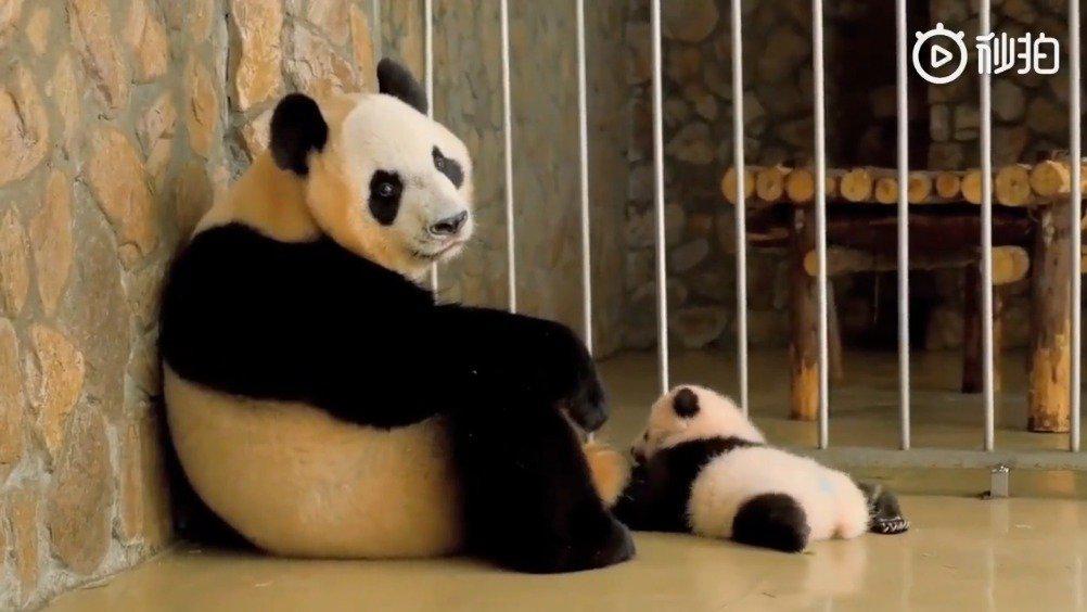 熊猫妈妈是这么带孩子的~哈哈哈笑喷