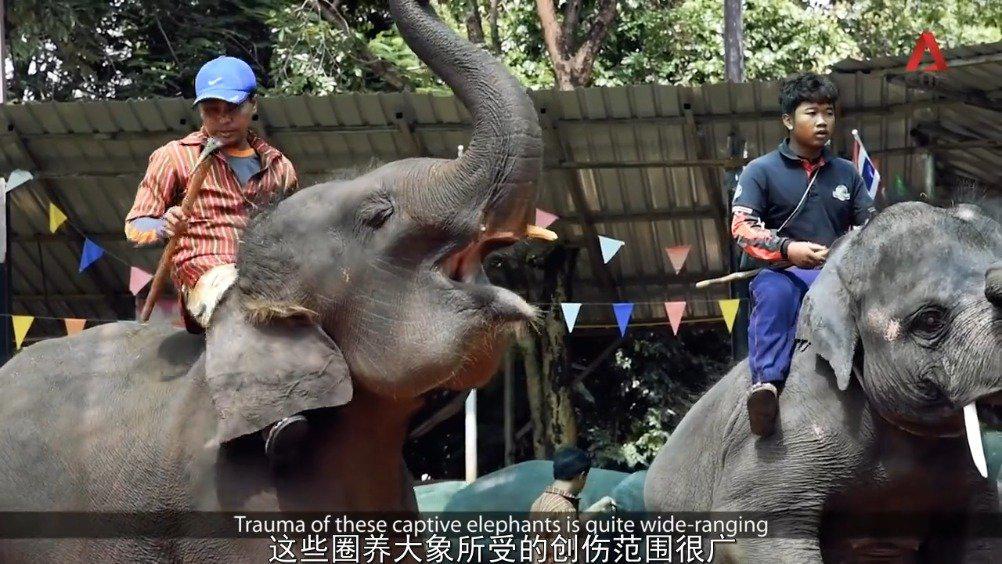 中字纪录短片表演大象的生存困境