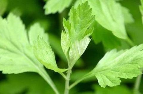 每天吃幼嫩艾草叶,半个月后身体发生神奇变化,值得所有人借鉴