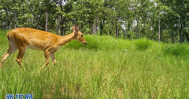 柬埔寨一自然保护区内记录到濒危坡鹿活动影像