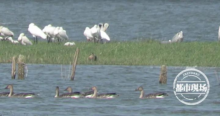 今年首批越冬大雁已抵达鄱阳湖,比去年晚了1天