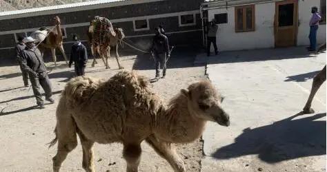 20万印军望穿秋水,为运物资连骆驼都用上了,俄:看来这回真急了