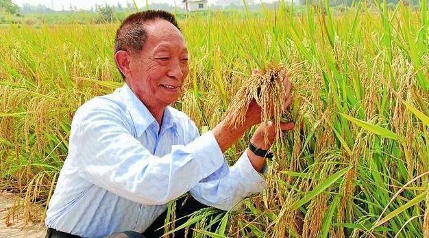 点赞!袁隆平团队重度盐碱地种稻亩产548公斤