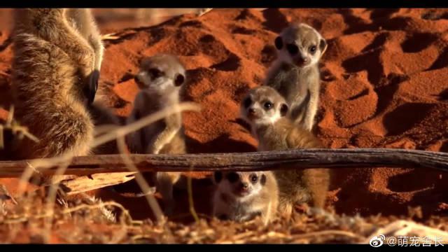 这么可爱的非洲猫鼬,心都萌化了……