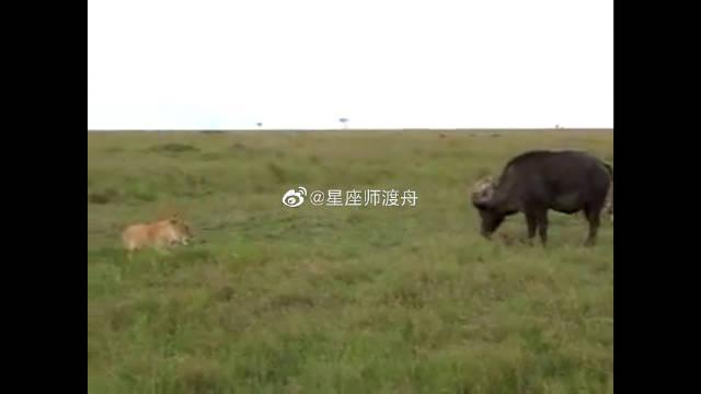 最尴尬的野牛,前有狮子后有鬣狗,我应该给谁吃呢?