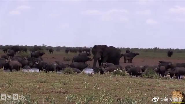 非洲象和野牛站在一起,才知道野牛有多渺小