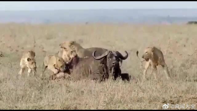 年老的野牛,肋排清晰可见,再也无法和狮子搏斗了