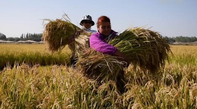 袁隆平团队重度盐碱地种稻亩产548公斤!