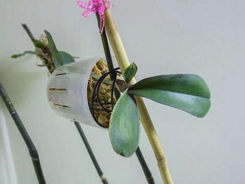 除去播种繁殖,我再教你四种繁殖蝴蝶兰的方法,新手可操作