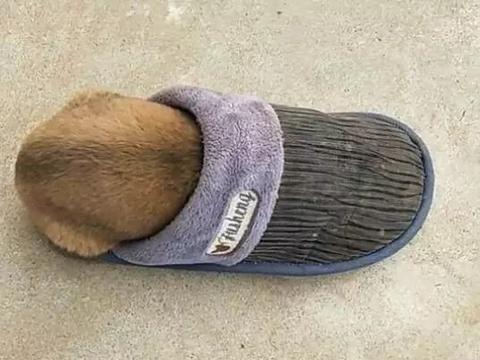 狗狗钻拖鞋中睡觉, 接下来主人将拖鞋提起, 狗子的反应让人笑喷
