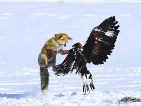 两只金雕秒杀西伯利亚狼,拔狼毛就地吃肉,狼兄你也有今天