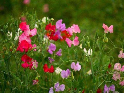花卉植物香豌豆怎么栽培好?