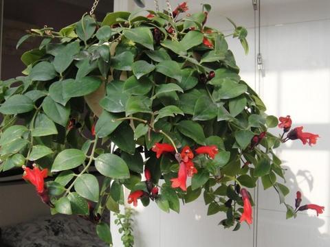 别再养绿萝、吊兰了,将几种植物吊起来养,简直美爆了!