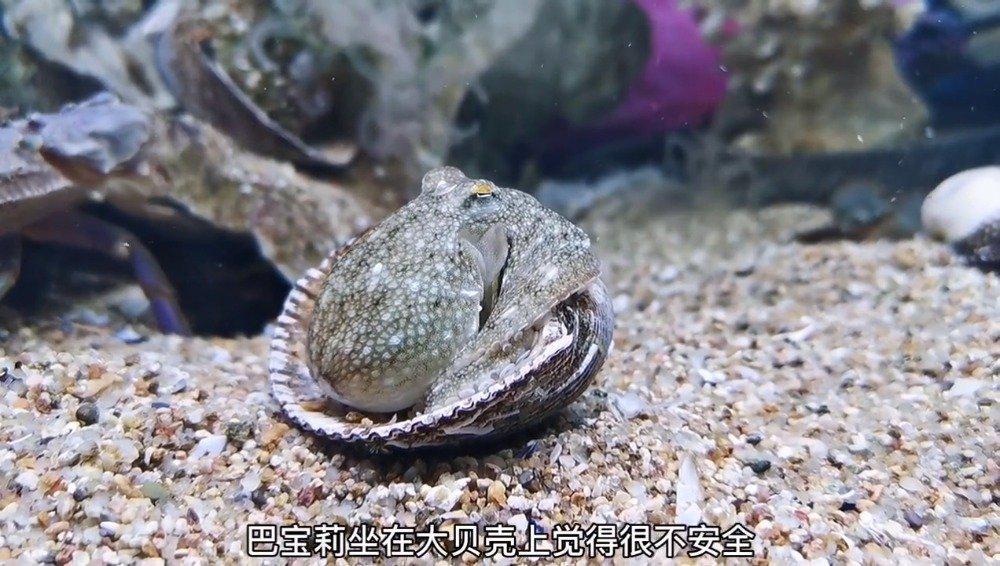 小章鱼坐在大贝壳上缺乏安全感,于是看上了边上的贝壳……