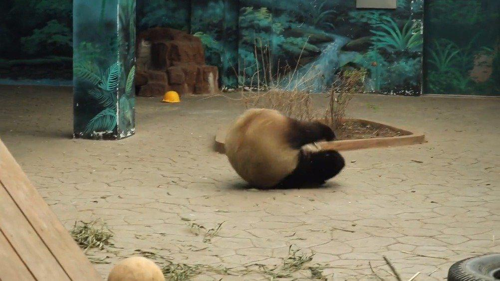 熊猫:听说这样走路比较快!