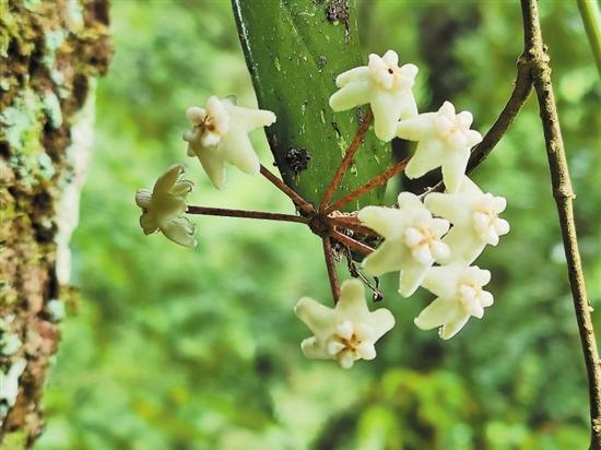 龙陵县发现植物新物种 命名为高黎贡球兰