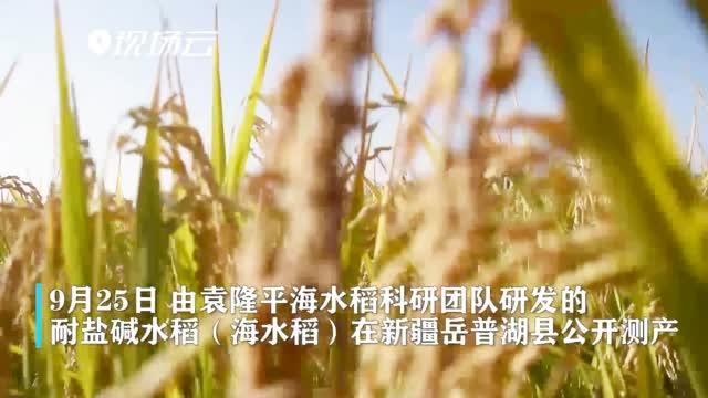 亩产548.53公斤!袁隆平团队研发的海水稻公开测产