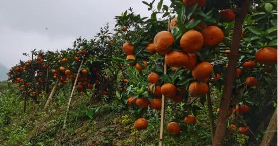 砂糖橘是砍掉还是高位嫁接