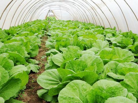 老菜农告诉你,种植大白菜两种肥料轮着用,抗病增产,菜心结实
