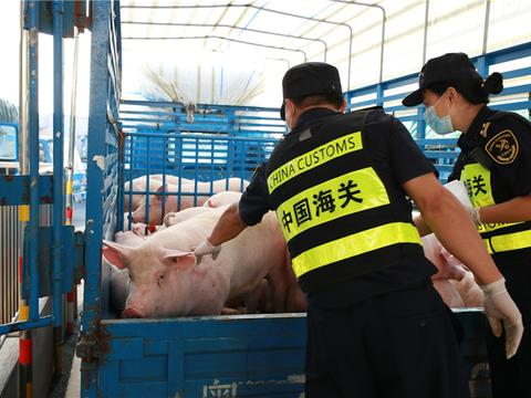 供澳活猪过驳站启用四个月 促澳门活猪量升价落