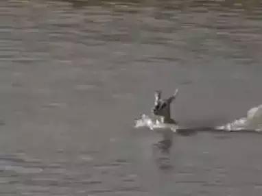 眼看小鹿要落入巨鳄口中,母鹿以命换命:妈妈只能帮你最后一次了