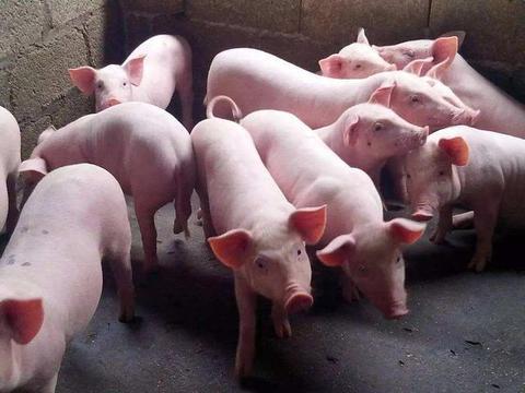 猪圆环病毒病详细解读:4种病毒、3种症状、3种治疗方法