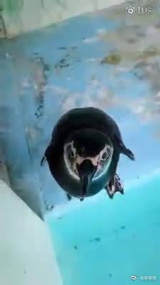 小企鹅宝宝对面前人类手中拿着的智能手机很感兴趣的样子