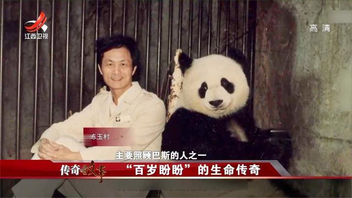 野生大熊猫巴斯被发现,对其精心照顾,它还出国去演出