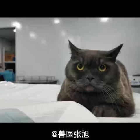 猫咪内窥镜微创取尿结石,现在基本上大部分手术都是微创了