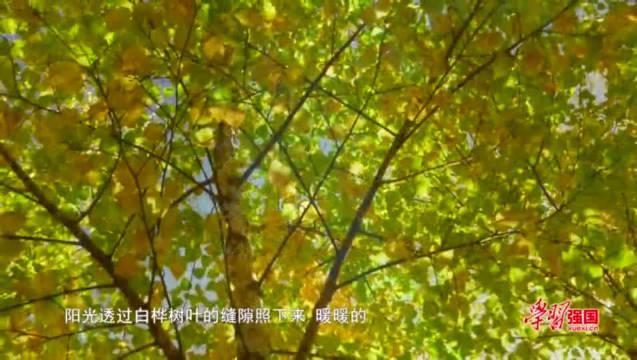 新疆新源:白桦林黄了