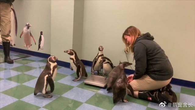 圣路易斯动物园,饲养员给企鹅称重,企鹅叫起来跟大鹅似的啊...