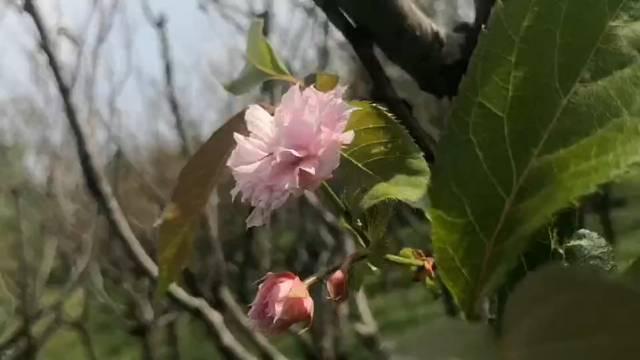 奇!扬州这个景区的樱花居然在双节来临之际盛开了?