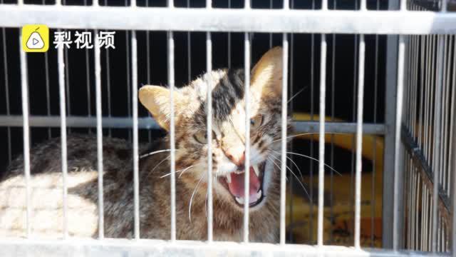 豹猫闯入农户咬死大量家禽,村民:养的鸡鸭全被吃没了