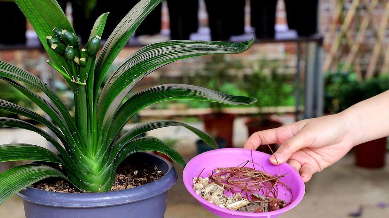 买君子兰看准这几个特征,不容易买到假货,心满意足地开花爆盆