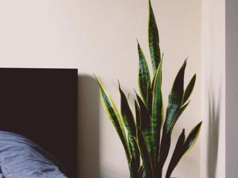 秋天养虎皮兰、君子兰、茶花,如何施肥?做到这些就能强根催花