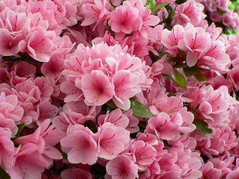杜鹃花最怕的几种花肥,不要用,不然黄叶掉花苞