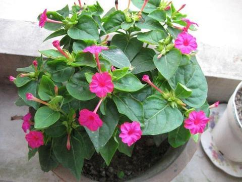 紫茉莉,又名胭脂花!居家盆栽注意4个小方法,叶绿花多!