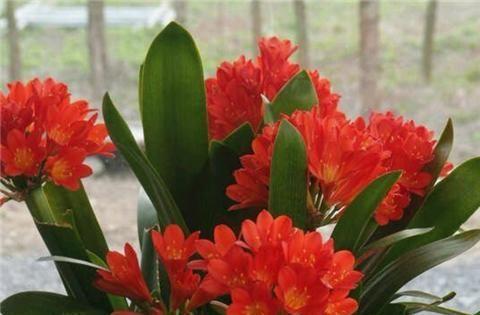 入秋给君子兰用三种肥,叶子绿得冒油,根系粗壮开花艳