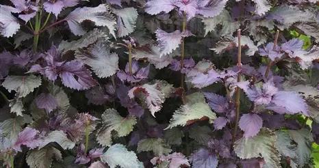 紫苏,叶散寒解表、宣肺化痰;梗理气宽中;老茎疏风散寒;子滑肠