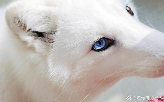 北极狐雪团子